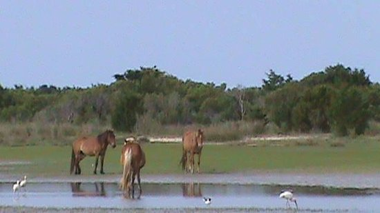 ‪‪Seahawk Inn & Villas‬: Wild horses at Shackleford....From Seahawk to Beaufort...Island ferry across...Great shell hunti‬
