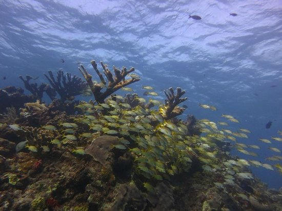 Scuba Fred's: School of yellowstriped grunts at Manchones Reef