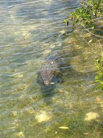 Scuba Fred's: Friendly neighborhood croc hoping for a slip off the pier?