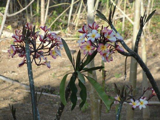 Rancho Cecilia Nicaragua : plumerias, Rancho Cecilia