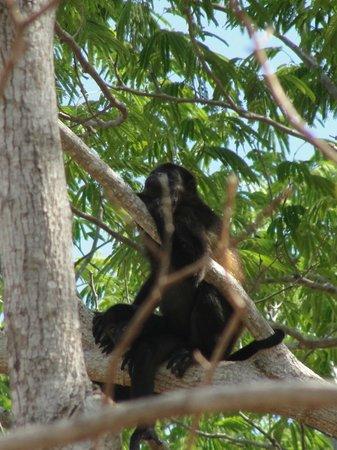 Rancho Cecilia Nicaragua: Howlers