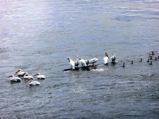 Celebration River Cruises: Pelicans