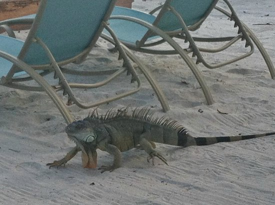 Ibis Bay Beach Resort: Iguana on beach