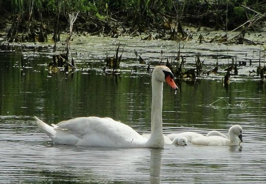 South Cape May Meadows: Swan and Babies