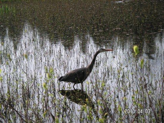 Stanley Park: heron