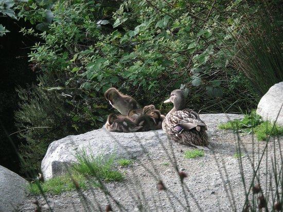 Stanley Park: beaver lake ducks