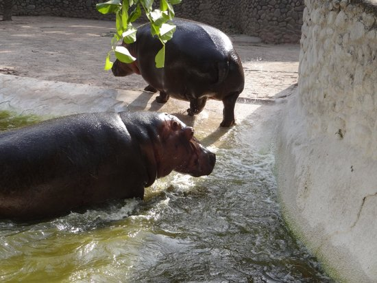 Mahendra Chaudhary Zoological Park: Hippos-Fighting
