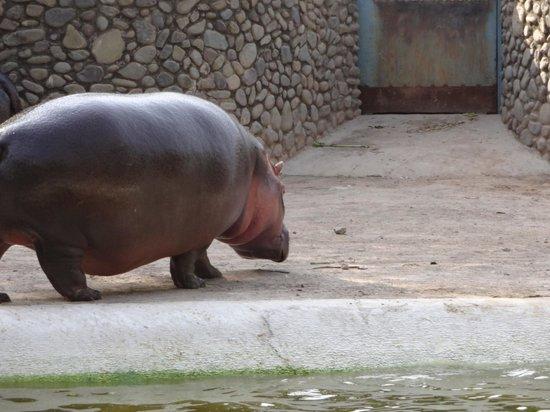 Mahendra Chaudhary Zoological Park: Hippo on land