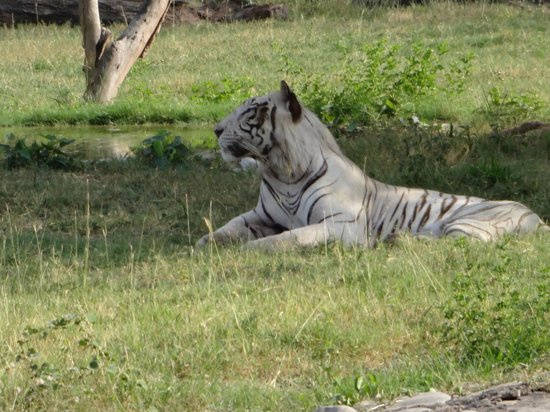 Mahendra Chaudhary Zoological Park: White Tiger-Rarely seen in India