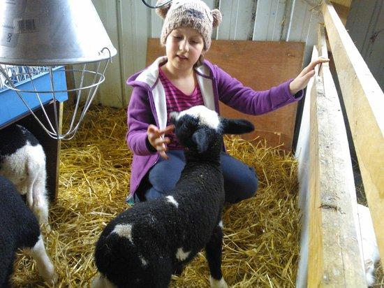 imecofarm: feeding baby lamb