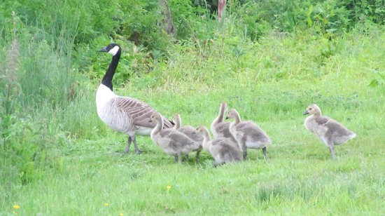 The Victorian Barn: Canada Geese Family