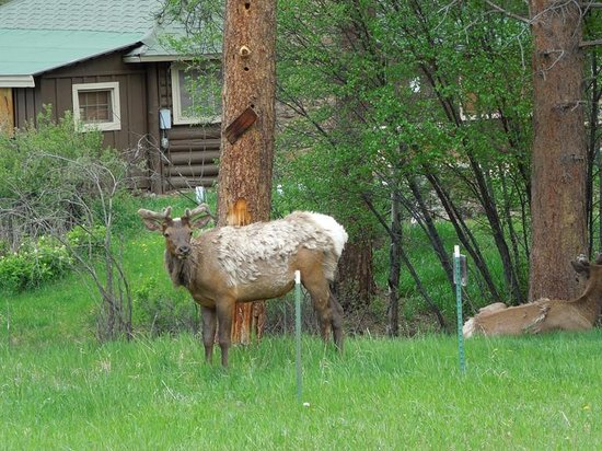 Spruce Lake RV Park: wildlife Estes Park