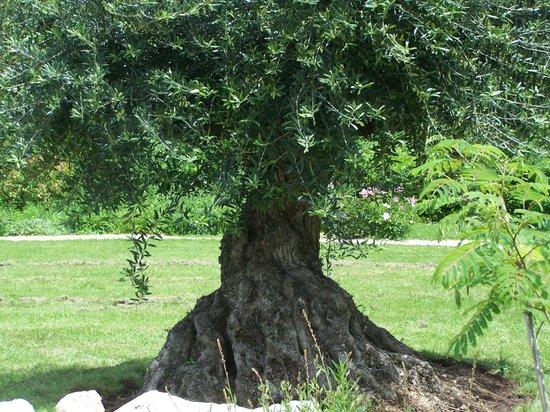 l 39 olivier arbre de la paix offre son ombre la terrasse en ip du domaine de lassord. Black Bedroom Furniture Sets. Home Design Ideas