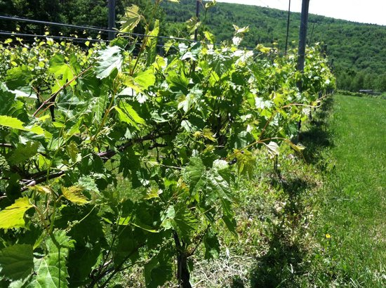 Walpole Mountain View Winery: Picture of the Vineyard close up