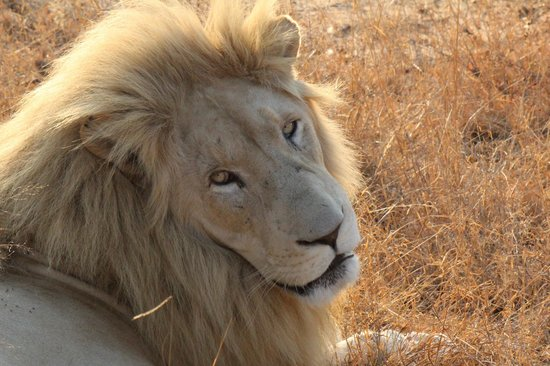 Elandela Private Game Reserve: The White Lion