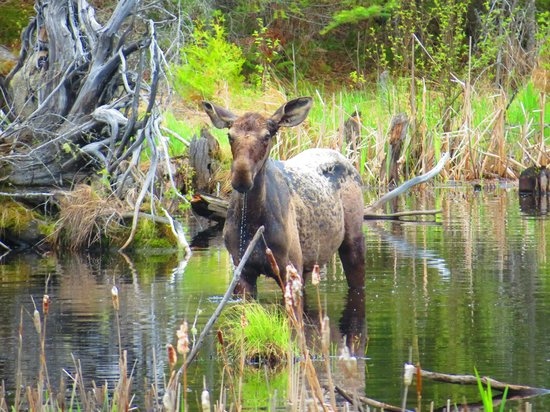 Cross River Lodge: Local Moose
