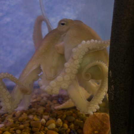 South Padre Island Dolphin Research & Sea Life Nature Center: beautiful little octopus