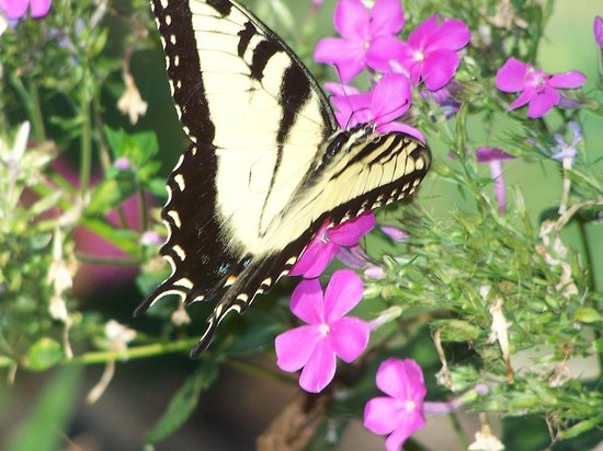 1887 Black Dog Inn: Beautiful Butterfly Enjoying the Phlox
