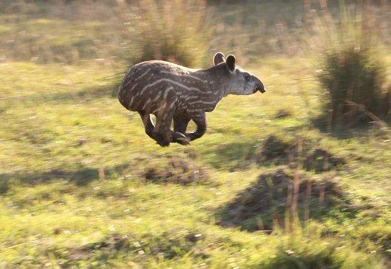 Hotel Fazenda Baia das Pedras : My husband snapped this photo of a tapir baby on the drive in to the Fazenda