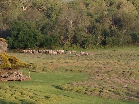 Mission Ranch: Sheep heading in for the evening