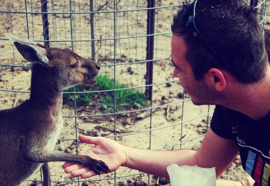 Cohunu Koala Park: Kangaroo