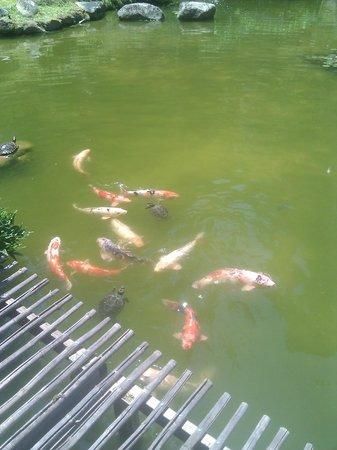 Hakone Gardens: Koi Pond - look for the turtle!