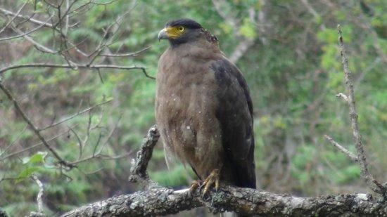 K Gudi Wilderness Camp: Serpent Eagle