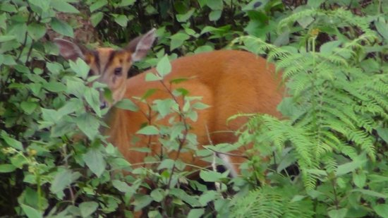 K Gudi Wilderness Camp: Barking Deer