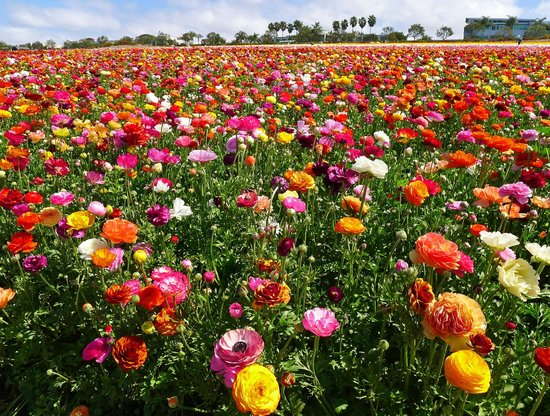 写真Carlsbad Flower Fields枚