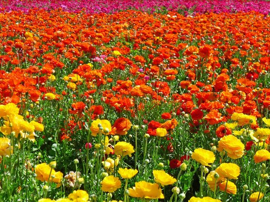 Carlsbad Flower Fields: Sea of Ranunculus!