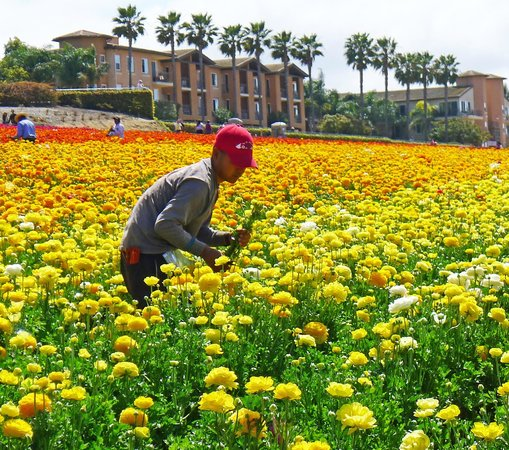 Carlsbad Flower Fields: Working the fields