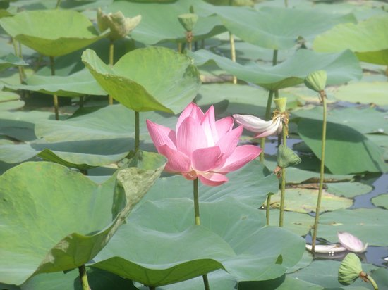 The Lotus Flower In The Pond At This Garden Picture Of Chinese