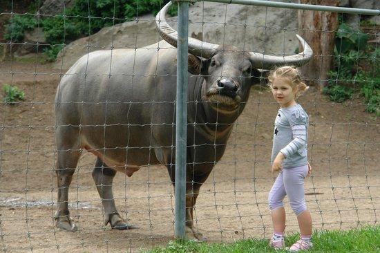 Shoalhaven Zoo: Jack the Water Buffalo