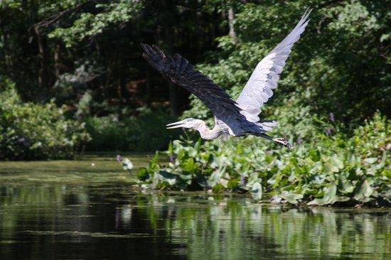 Charles River Peninsula : heron