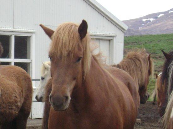 Laxnes Horse Farm: an Icelandic Horse