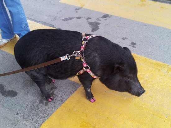 BEST WESTERN Jasper Inn & Suites: Local with pet pig