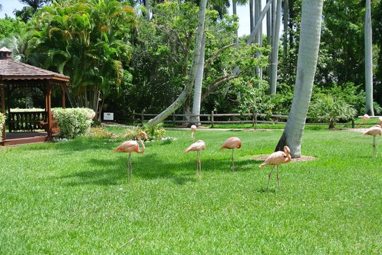Flamingos Picture Of Sarasota Jungle Gardens Sarasota Tripadvisor