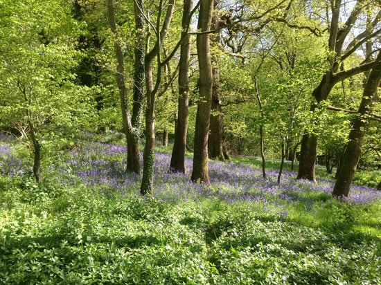 The Pig - at Combe: Bluebell woods