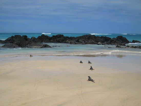 Iguana Crossing: Iguanas on beach across from hotel