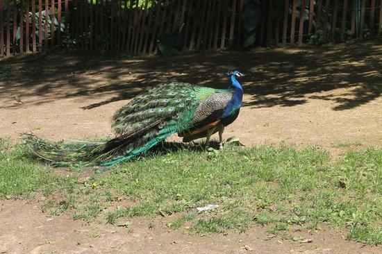 Staten Island Zoo: Peacock