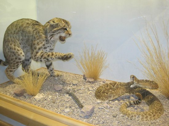 International Wildlife Museum : Leopard About to have a Rattlesnake for dinner