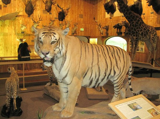 International Wildlife Museum : A Real Life Look at a Beautiful Bengal Tiger