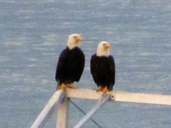 Oak Bay Beach Hotel : Bald Eagles by the Pools fishing off the pier