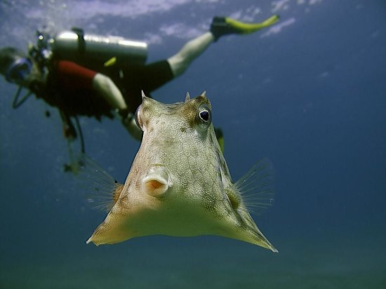 Cow Fish with Aqaba Bedouin Dive