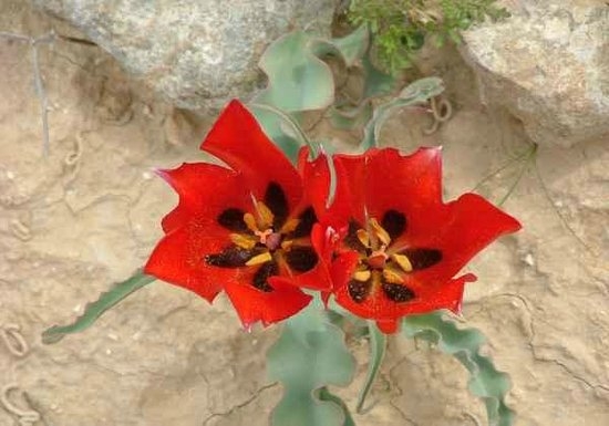 Carmey Avdat: Tulip