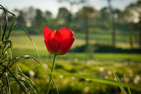 La Cavalerie : Lonely tulip