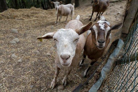 Goats Podere Casanova