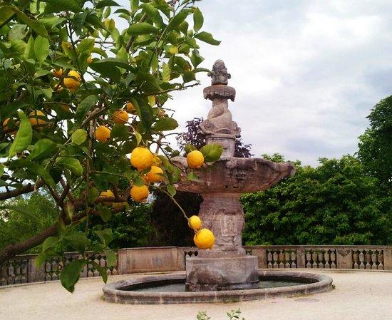 Kurpark-Hotel Bad Dürkheim: Lemon tree at Kurpark, in front of hotel