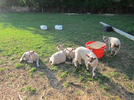 Manor Farm: little lambs
