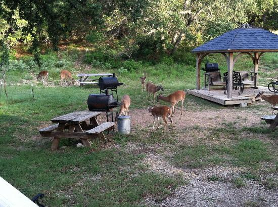 Holiday Lodge on Canyon Lake: Another photo of the deer eating